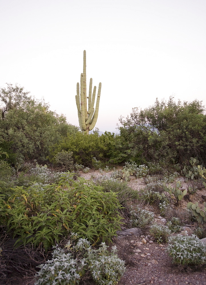 Cactus on hill, Arizona, United States