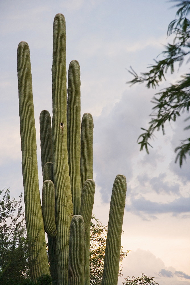 Cactus at sunset, Arizona, United States