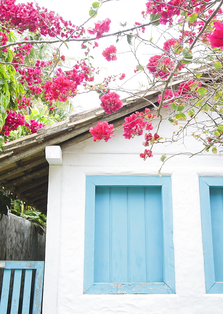 Brazil, Bahia, Trancoso, Bougainvillea blooming in front of house