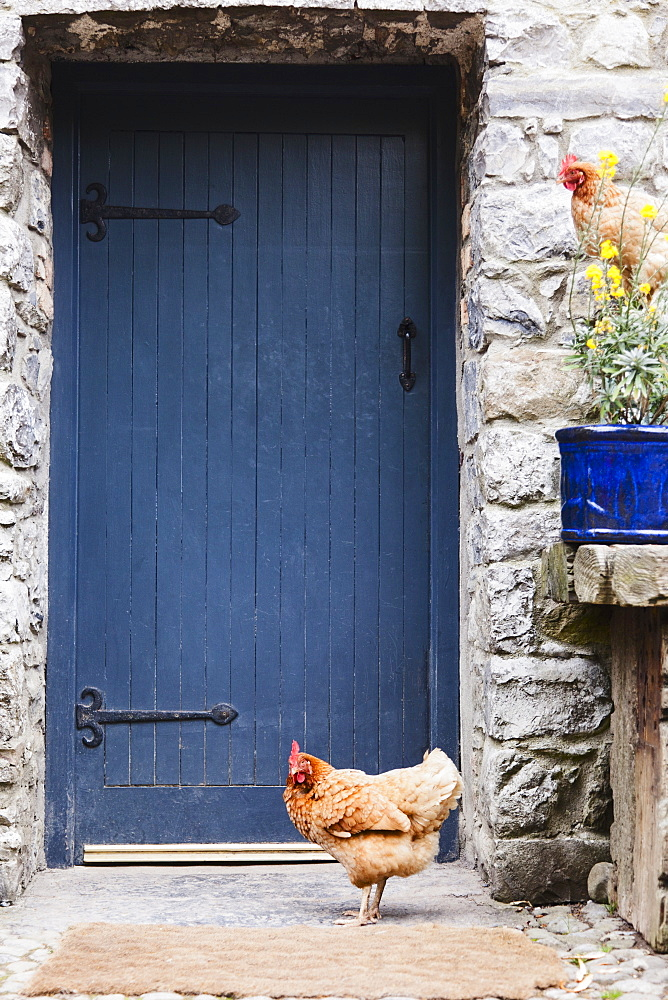 Ireland, County Westmeath, Hen in front of wooden door