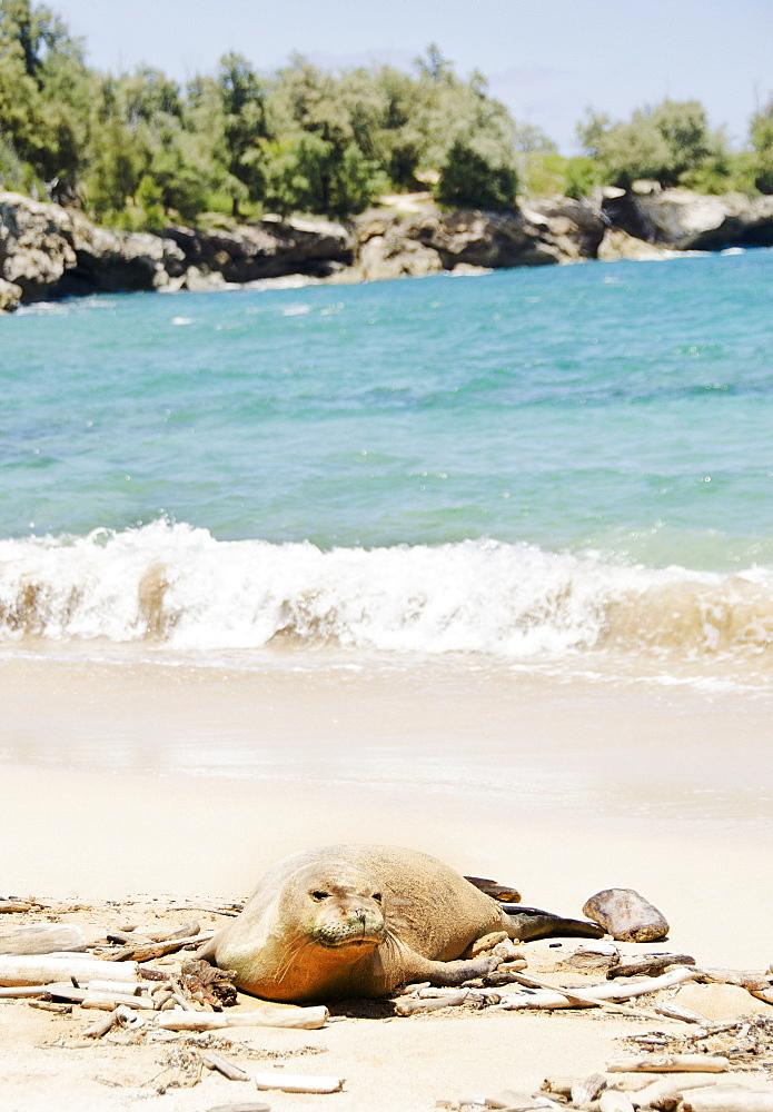 Maha'ulepu Beach, Monk seal on beach, USA, Hawaii, Kauai, Maha'ulepu Beach