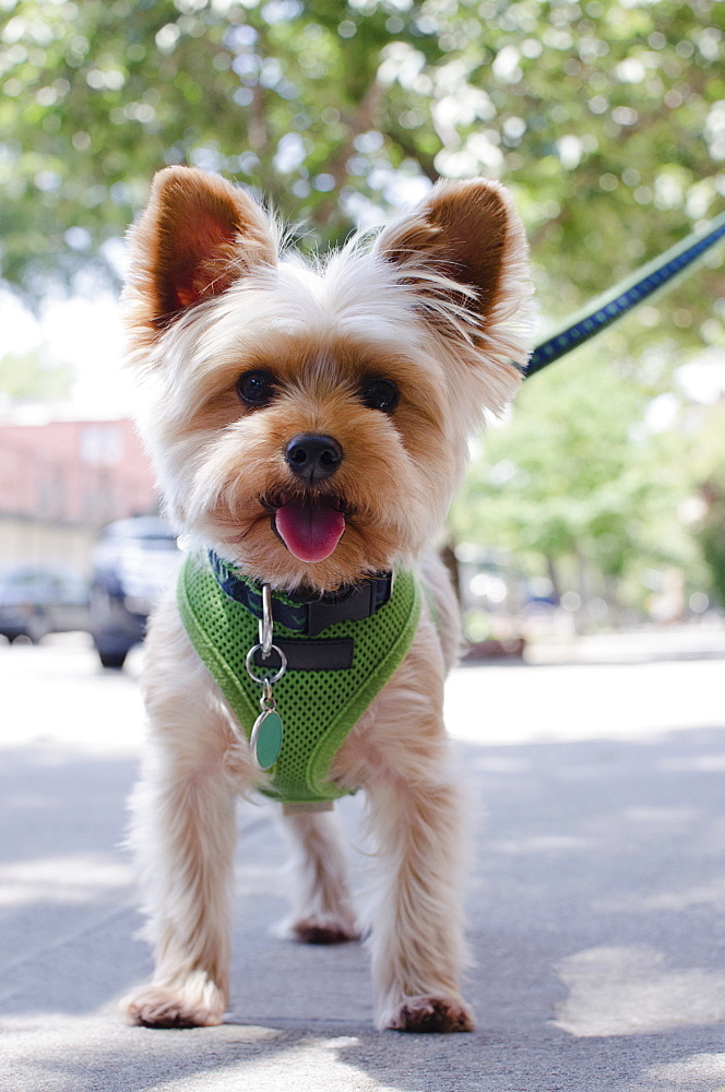 Portrait of Yorkshire terrier, USA, New York State, New York City, Brooklyn