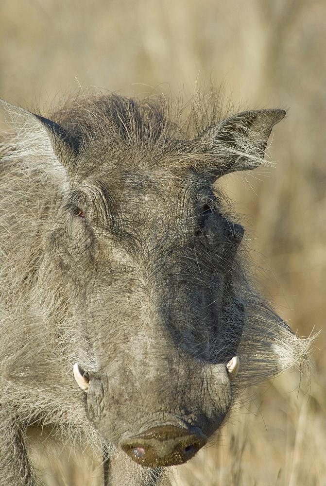 Close up of wild warthog