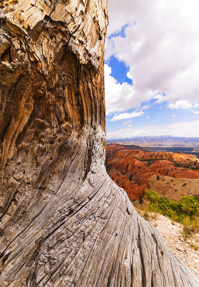 Eroded tree, landscape in background, USA, Utah, Bryce Canyon