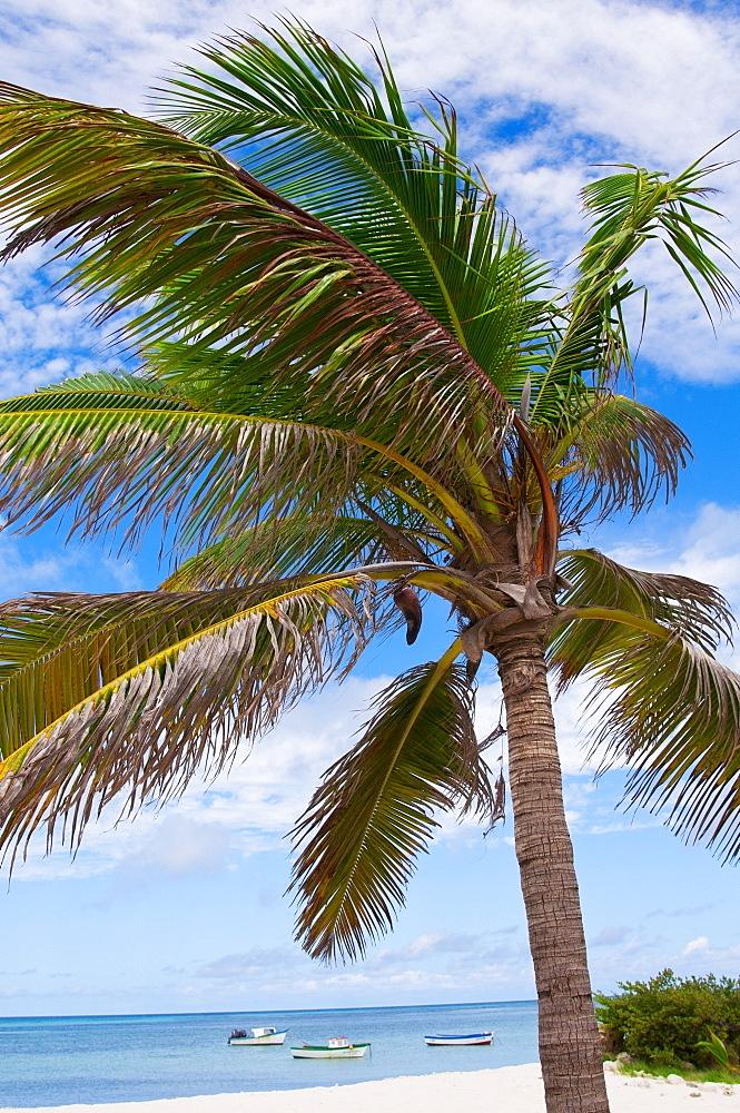 Aruba, palm tree on beach