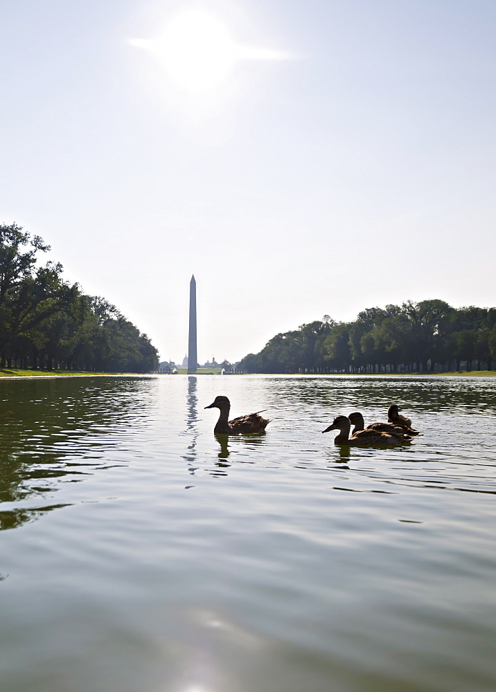 USA, Washington DC, ducks on Reflecting Pool