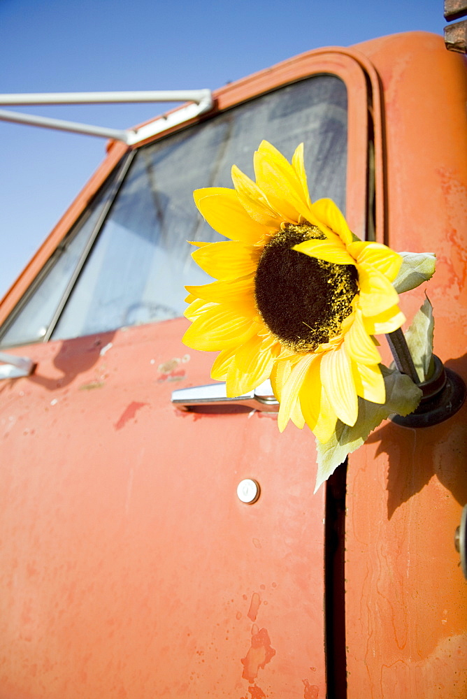 Sunflower in gas tank of old truck
