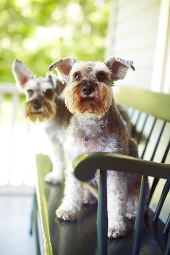 Two schnauzers sitting on bench, New York, NY