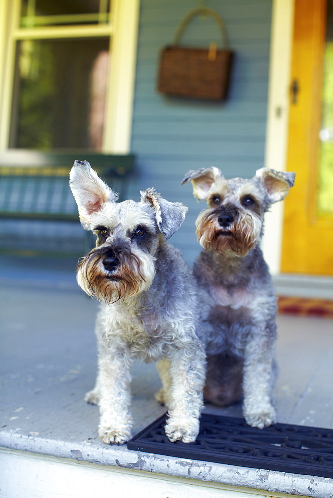 Two schnauzers sitting on porch, New York, NY