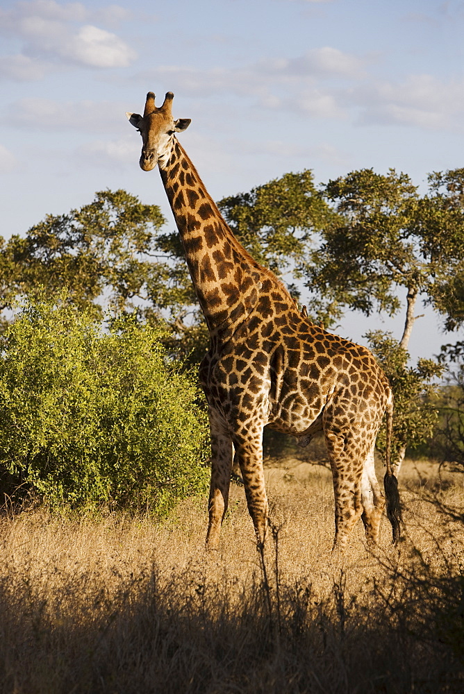 Giraffe standing in grass