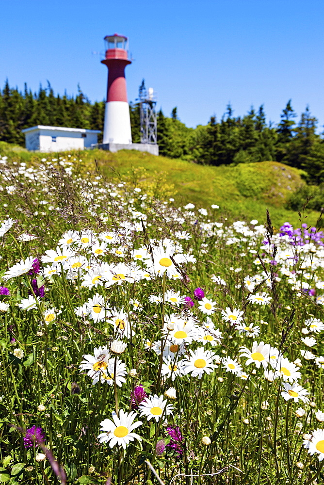 Flowers on hill with lighthouse on background, New Brunswick, Canada