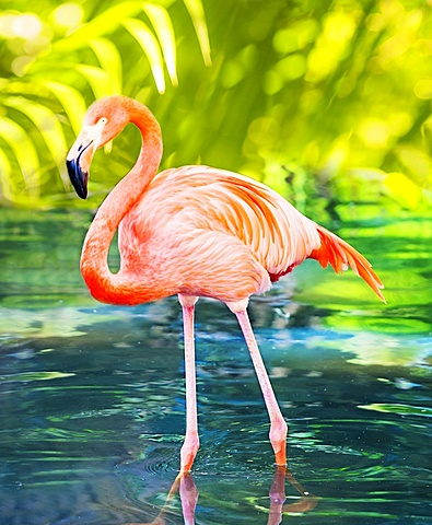Flamingo wading in water, West Palm Beach, Florida