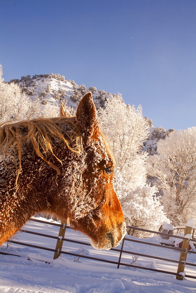 Portrait of horse on farm in winter, Colorado