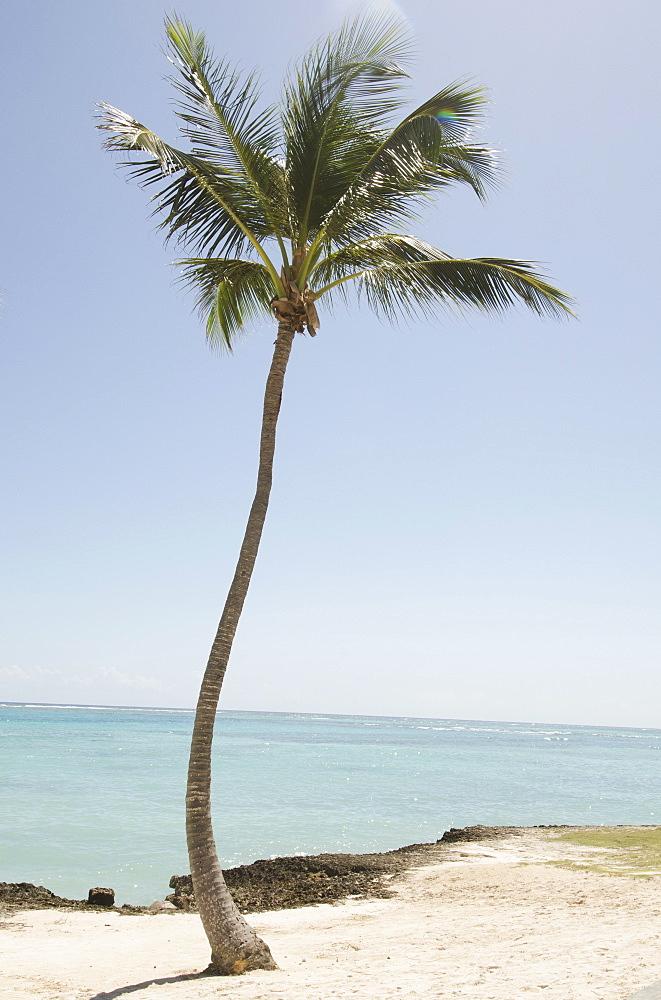 Palm tree on beach, Punta Cana, Dominican Republic