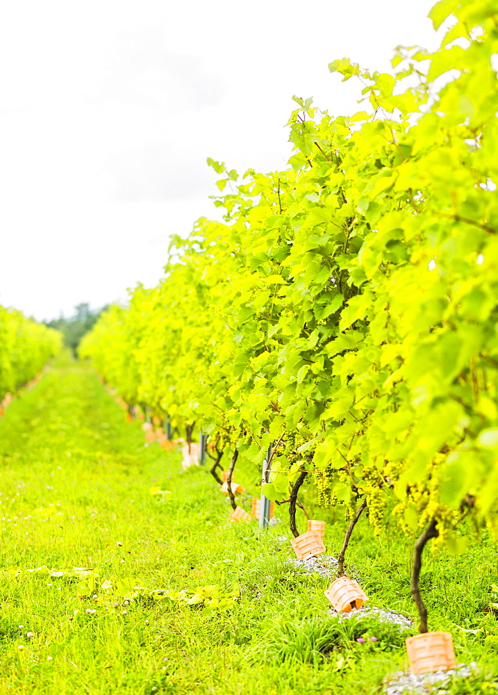Lush foliage of vineyard
