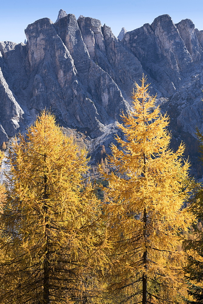 Pine trees in the Dolomites, South Tyrol, Italy