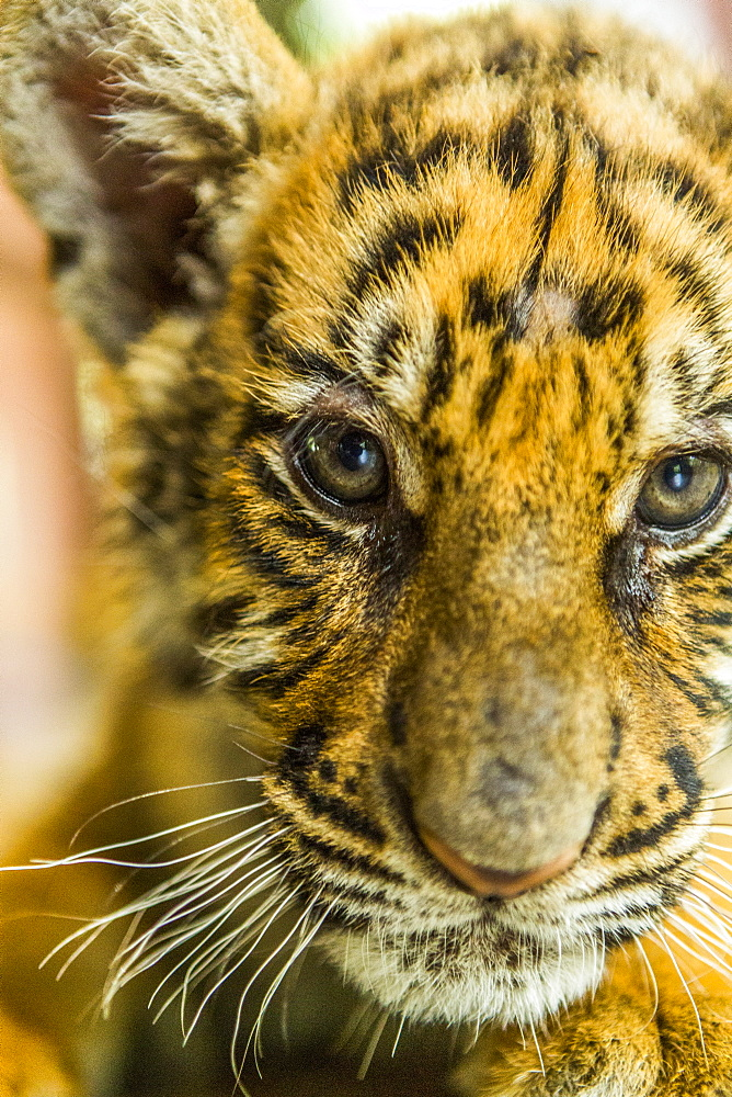 Tiger cub looking at camera