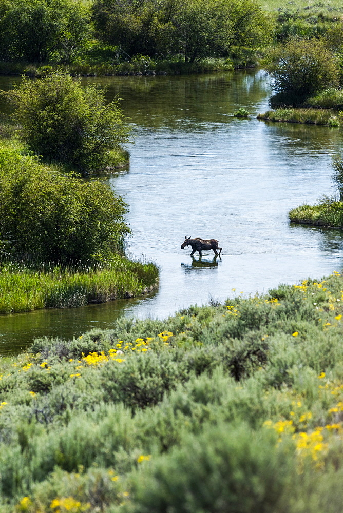 Moose crossing river in Picabo, Idaho, USA