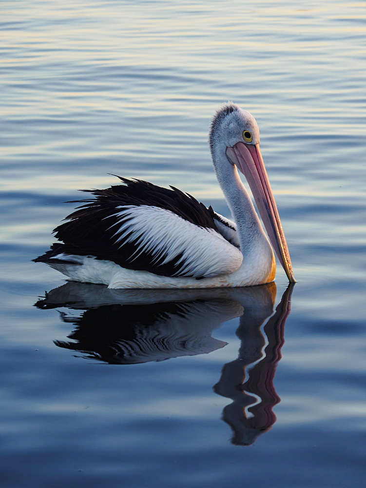 Pelican on sea at sunset