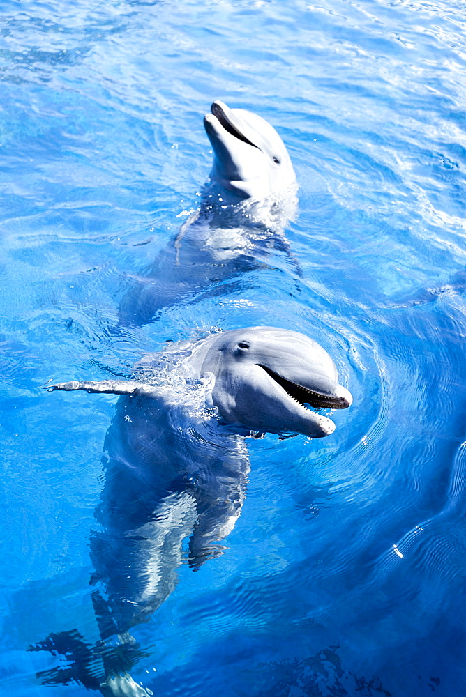 Dolphins in water at Miami Seaquarium in Miami, Florida, United States of America