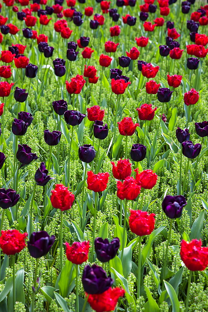 Red and purple tulips in field in Amsterdam, Netherlands