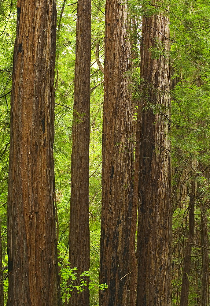 Redwoods in Muir Woods National Park California USA