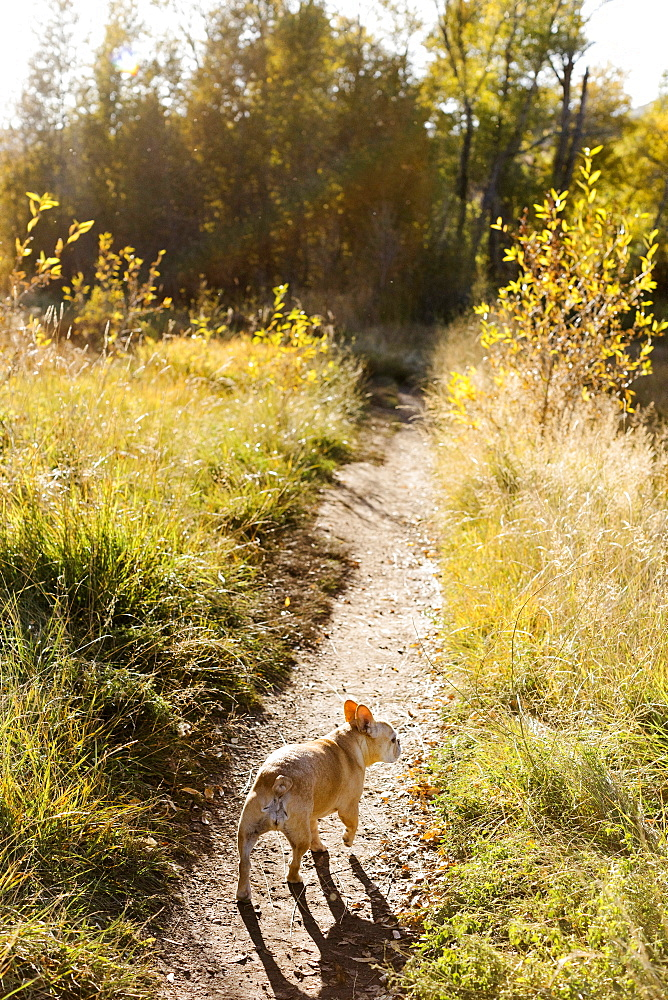 French bulldog on forest path