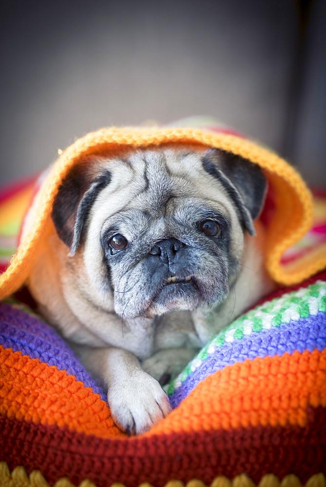 Pug lying under blanket