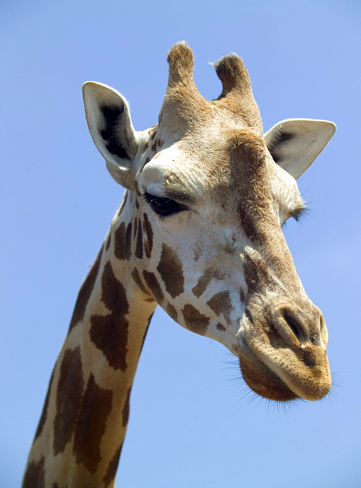 Head of a giraffe