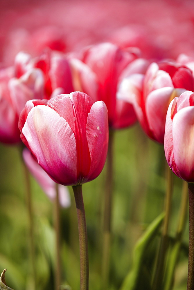 Close-up of pink tulip in field