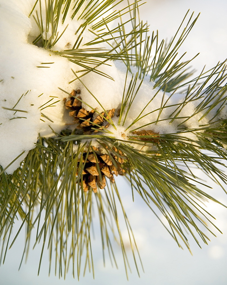 Closeup of snowy pine and pinecones