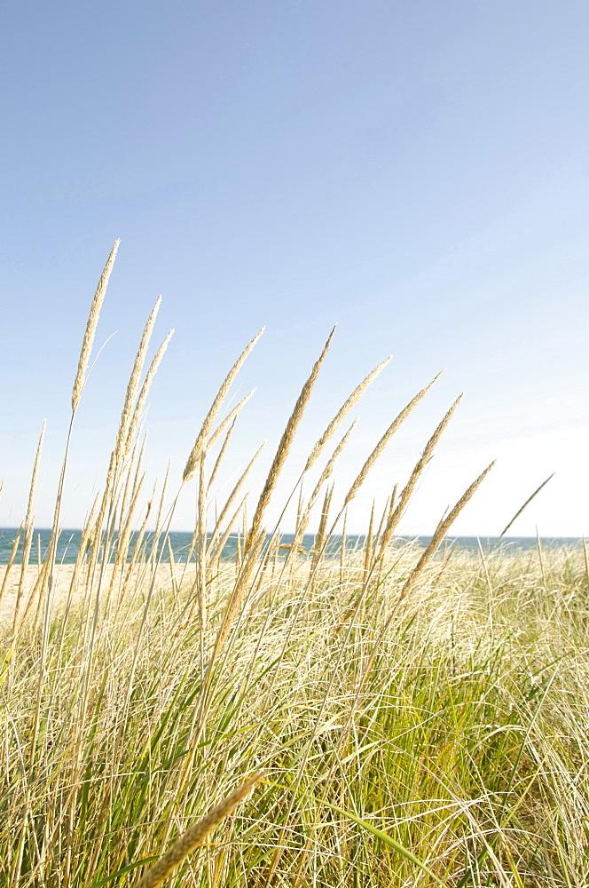 Close-up shot of stems of marram grass with sandy beach in background, Nantucket, Massachusetts, USA