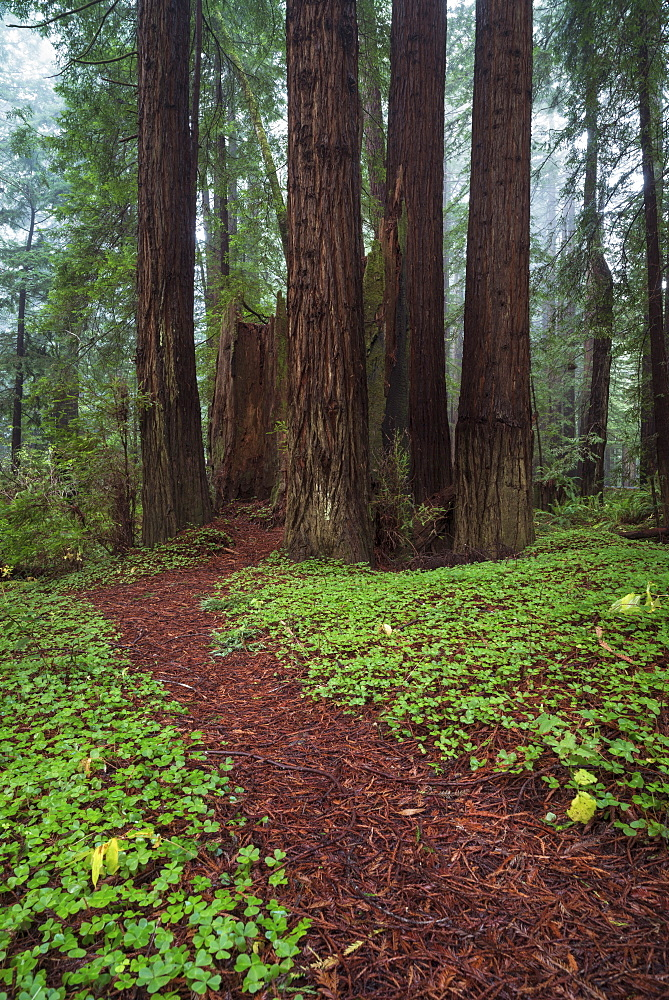 Path in forest, California