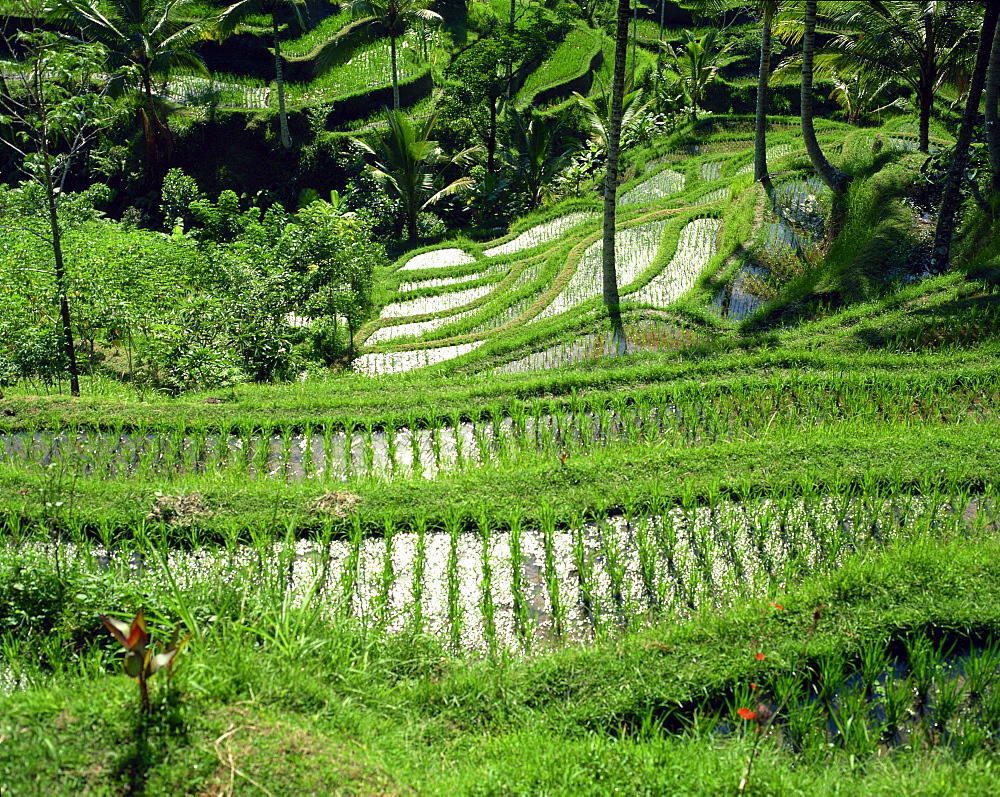 Rice terraces, Bali, Indonesia, Southeast Asia, Asia - 1-22970