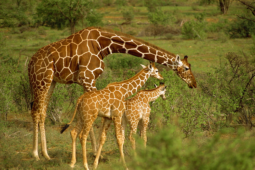 Reticulated giraffe, Samburu, Kenya, East Africa, Africa - 1-24816