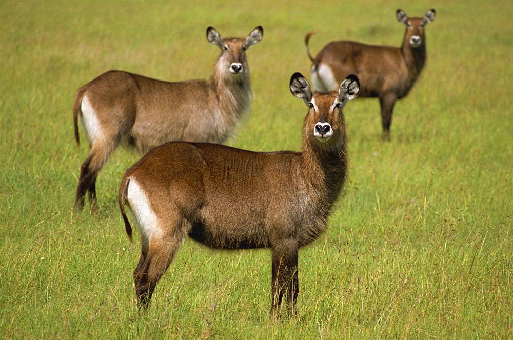 Waterbuck, Masai Mara, Kenya, East Africa, Africa - 1-25258