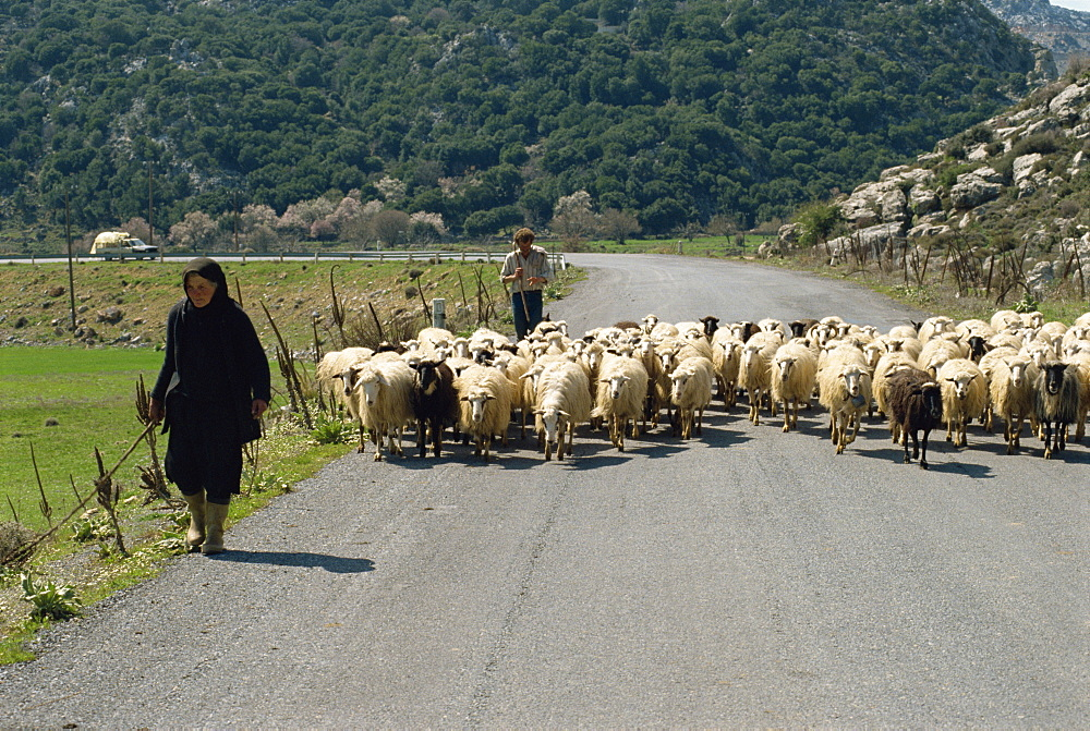 Sheep being herded along the road, Lasithi Plateau, Crete, Greek Islands, Greece, Europe