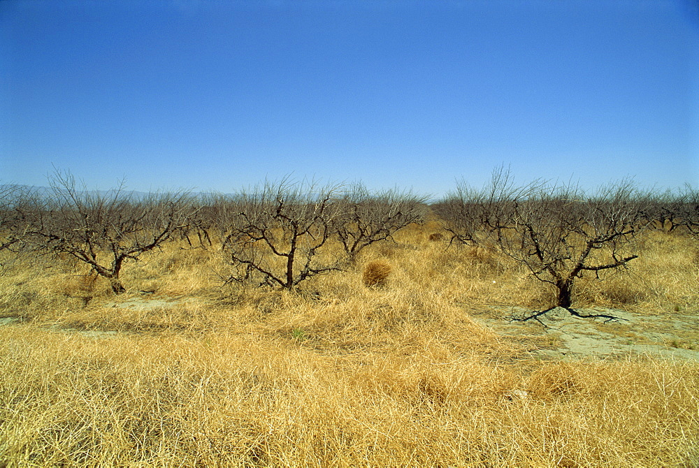 Dead orange groves, worth more as building land, near Indio, California, United States of America, North America