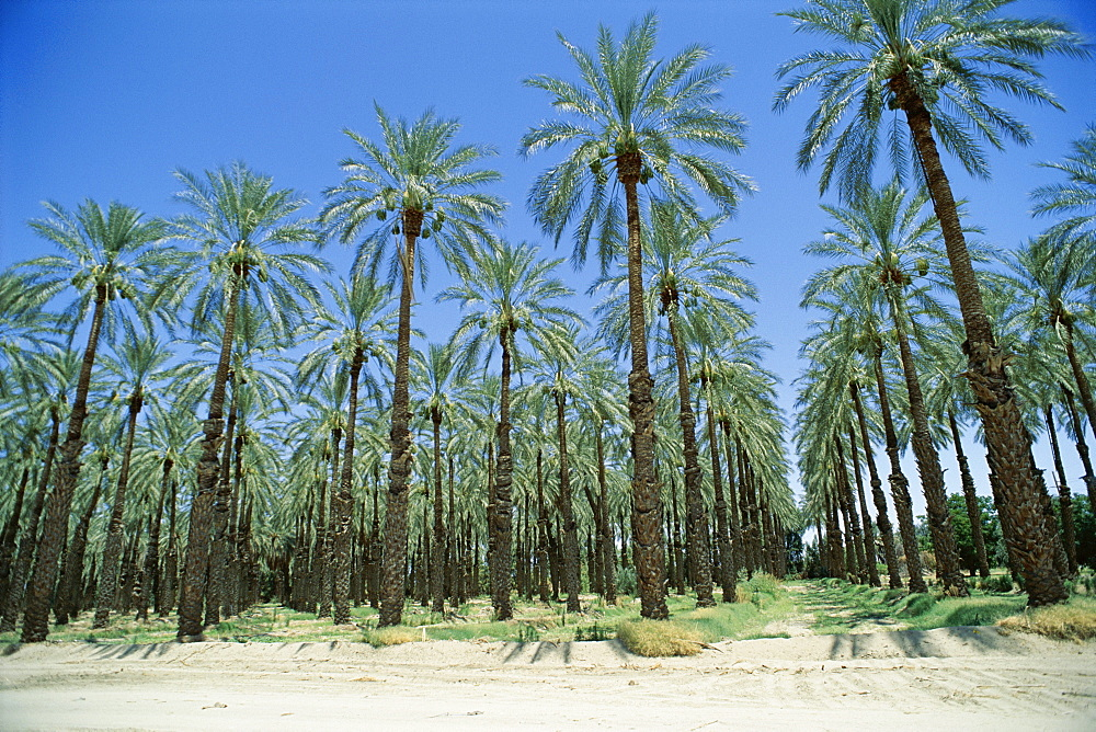 Date palm orchards near Indio, California, United States of America (U.S.A.), North America