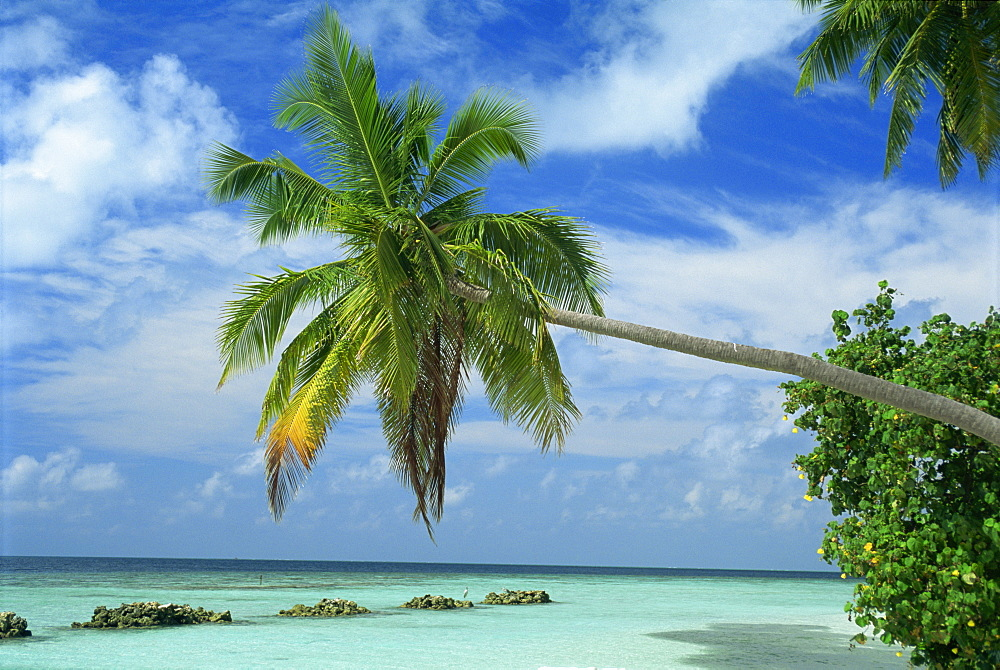 Palm tree on the tropical island of Nakatchafushi in the Maldive Islands, Indian Ocean, Asia