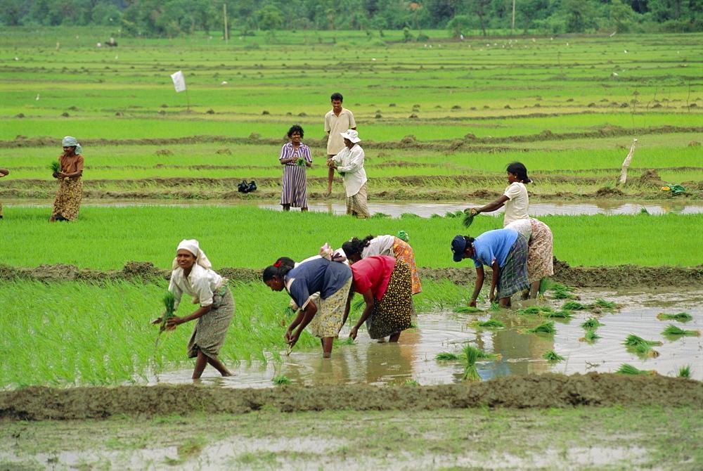 Rice farming, Sri Lanka, Asia