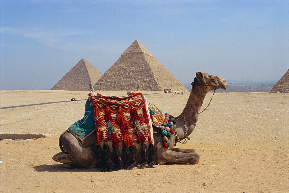 Camel in front of the pyramids at Giza, UNESCO World Heritage Site, near Cairo, Egypt, North Africa, Africa