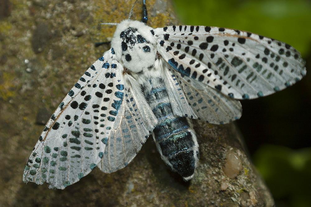 Leopard moth (Zeuzera pyrina) (Zeuzerinae), North West Bulgaria, Europe *** Local Caption *** Family Cossidae