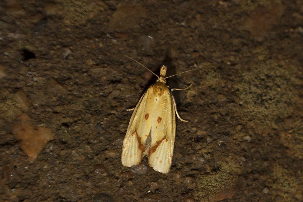 Tortricid moth (Tortricidae) (Heterocera), North West Bulgaria, Europe