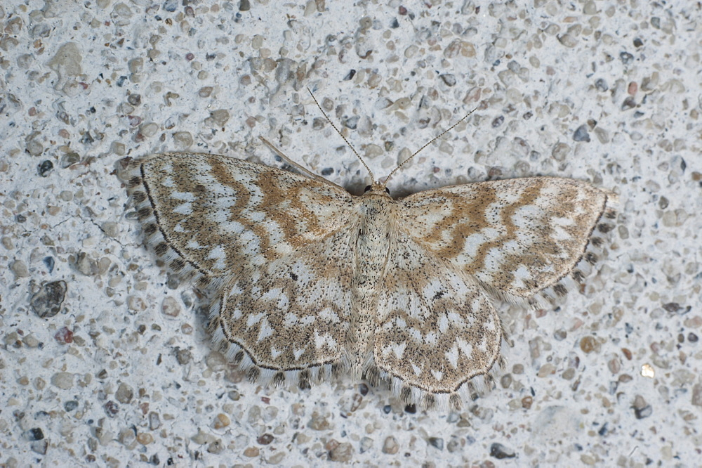 Moth (Geometridae), North West Bulgaria, Europe *** Local Caption *** Family Geometridae