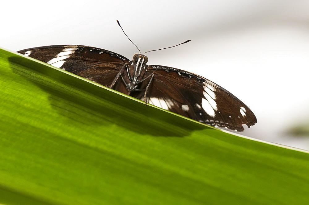 Exotic butterfly (Rhopalocera), Grevenmacher Butterfly Garden, Luxembourg, Europe - 1001-145