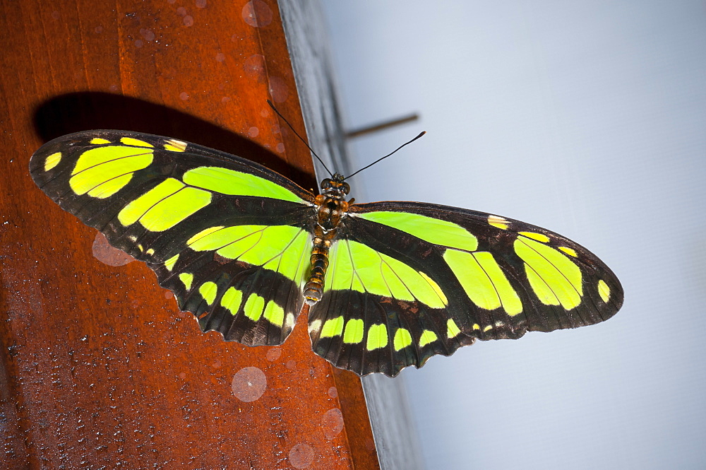 Exotic butterfly (Rhopalocera), Grevenmacher Butterfly Garden, Luxembourg, Europe - 1001-149