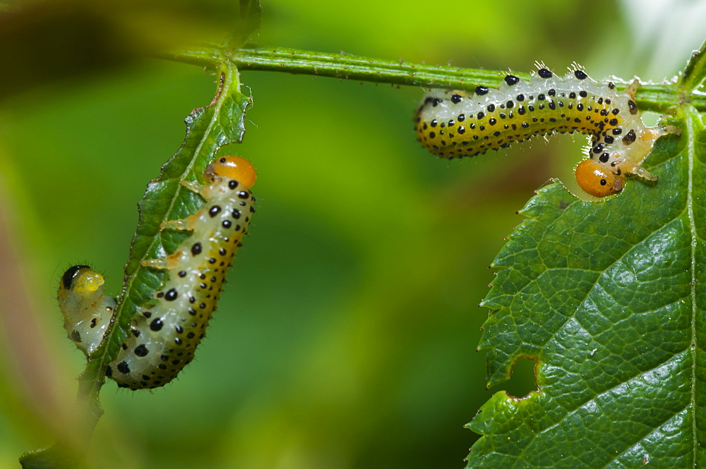 Caterpillars, North West Bulgaria, Europe