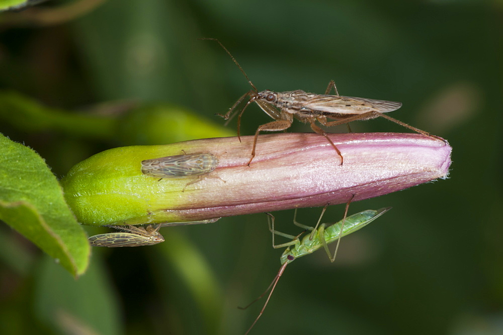 Mirid bug (Miridae) (Plant bug) and Capsid, North West Bulgaria, Europe *** Local Caption *** Order Coleoptera