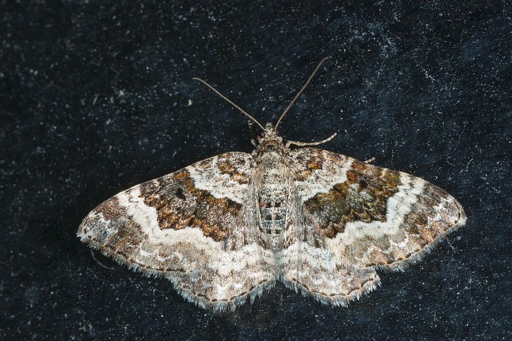 Carpet moth (Geometridae) (Larentiinae), North West Bulgaria, Europe *** Local Caption *** Family Geometridae